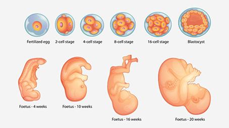 cute week by week pregnancy images